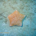 A giant cushion star on a sandy area of the reef