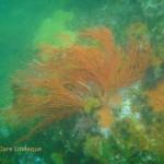Sea fan in green water