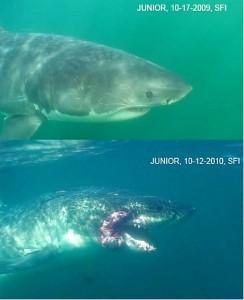 Junior the great white shark