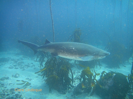 Broadnose sevengill cowshark at Shark Alley
