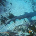 This cowshark appears to have been tagged