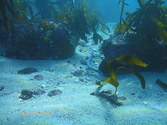 A hagfish swims away at Shark Alley