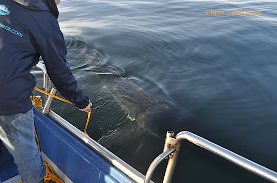 A white shark investigates the bait