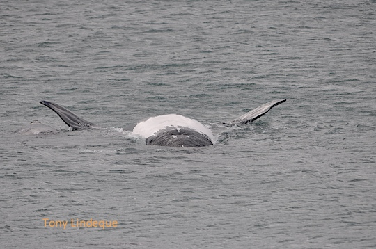 Southern right whale calf rolling about