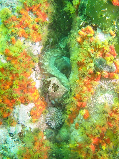 Octopus at Photographer's Reef