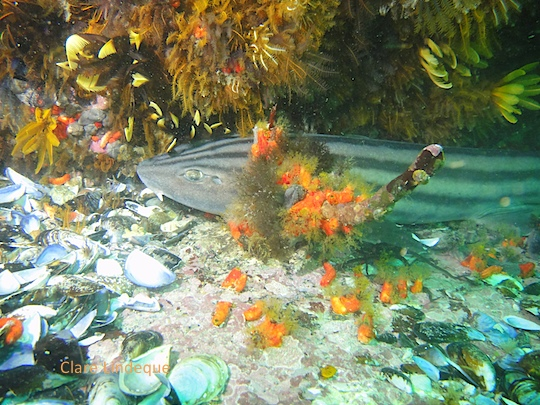 Pyjama catshark at Ark Rock
