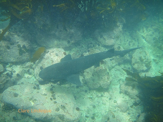 Small cowshark at Shark Alley