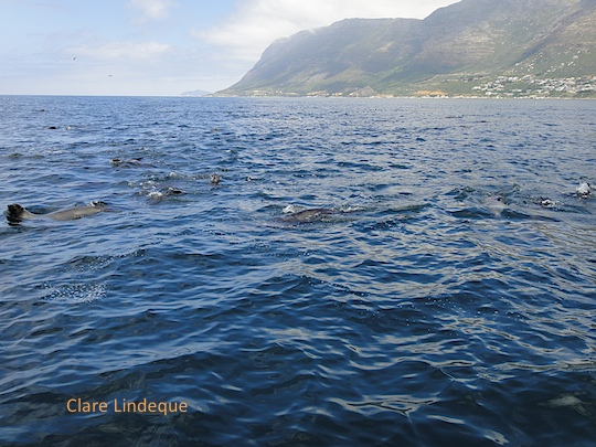 Seal convocation in False Bay