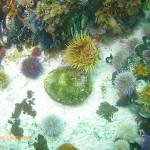 Perlemoen, urchins and false plum anemone