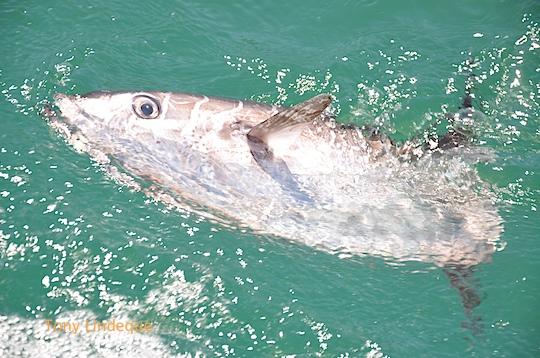 Chasing sunfish