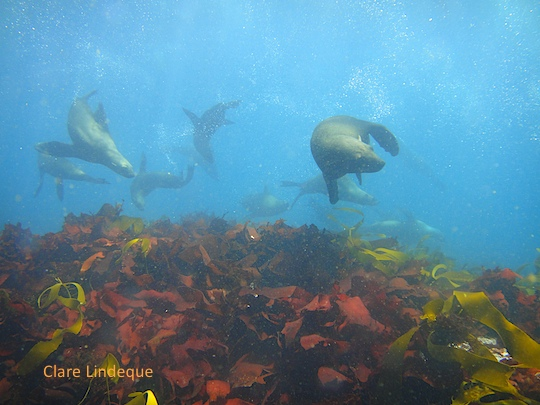 Seals over the reef at Duiker Island