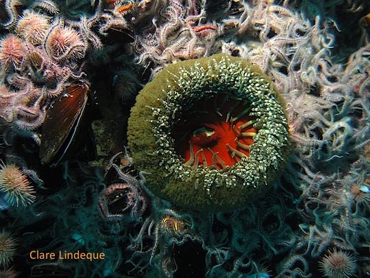 Anemone on the Katsu Maru