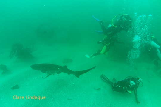 Diving with the cowsharks last Sunday