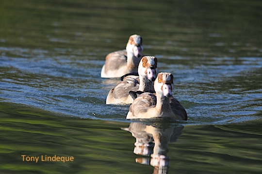 Egyptian geese in formation