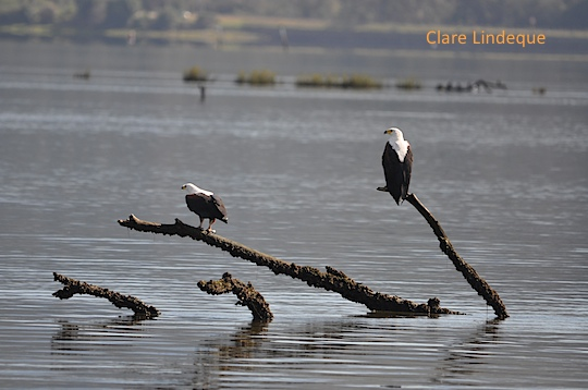 Fish eagle pair on the Knysna lagoon