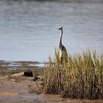 Curious heron