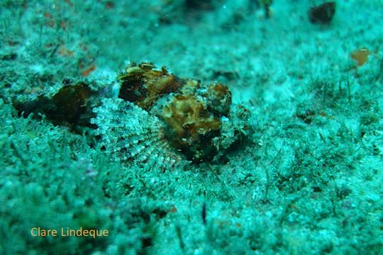 Baby raggy scorpionfish