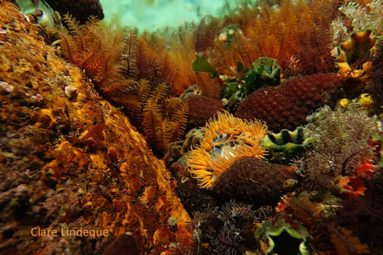 Anemone among feather stars and papery burnupena