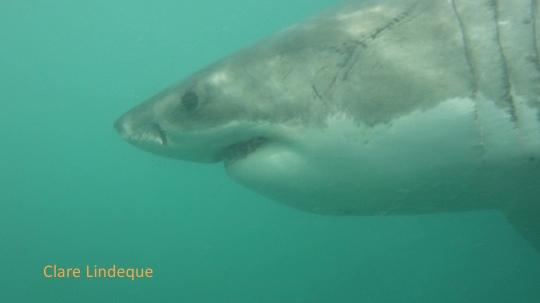 Great white shark in False Bay