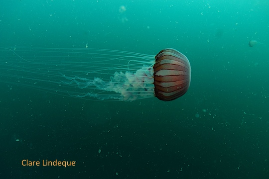 Compass sea jelly in False Bay
