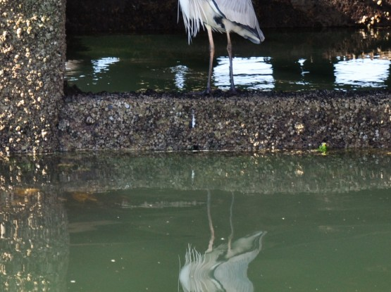 Heron fishing at the jetty