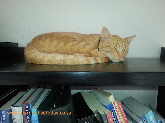 Junior napping on the bookshelf