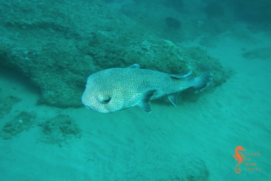 A porcupinefish on the move