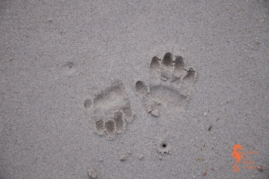 Baboon footprints on Olifantsbos beach
