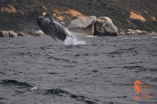 Breaching whale, picture by Geoff Spiby