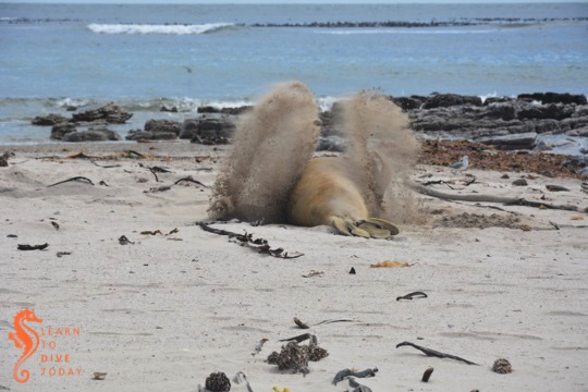 Elephant seal cooling off with damp sand