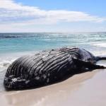 Humpback whale on the beach