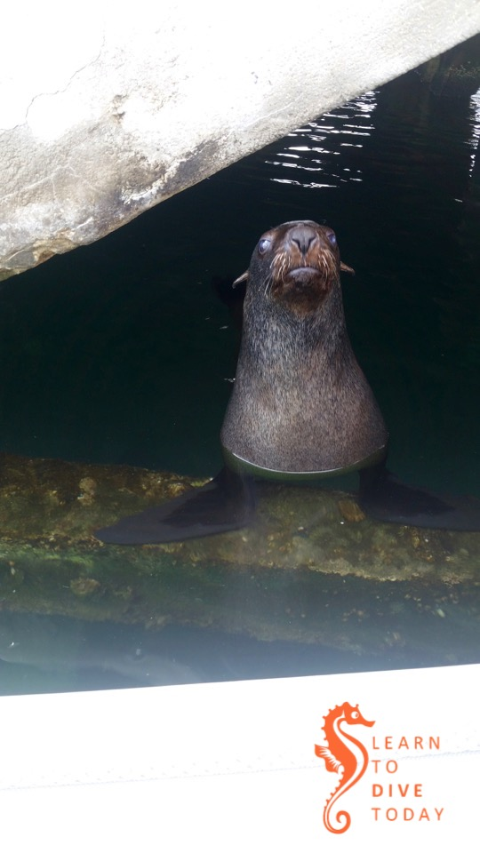 Friendly seal under the jetty at Simon's Town
