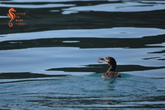 Cormorant eating a pipefish