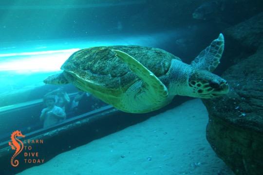 Diving in the I&J Ocean Exhibit at the Two Oceans Aquarium