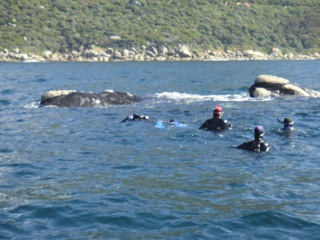 Southern Right whales and divers in Smitswinkel Bay