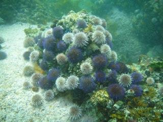 Urchins at Fisherman's Beach