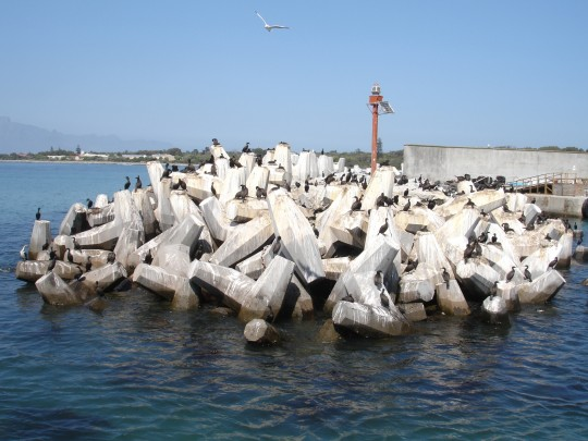 Cormorants nesting on the breakwater at Murray's Bay Harbour