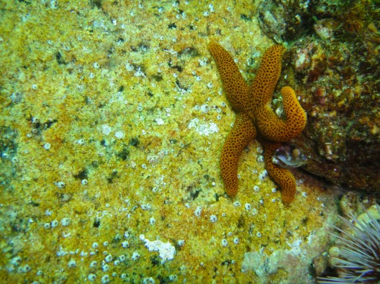 Reticulated sea star at Fisherman's Beach
