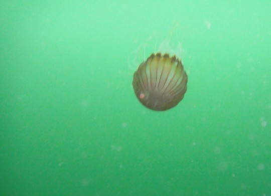 Compass sea jelly