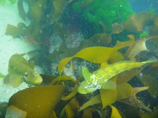 Fighting klipfish