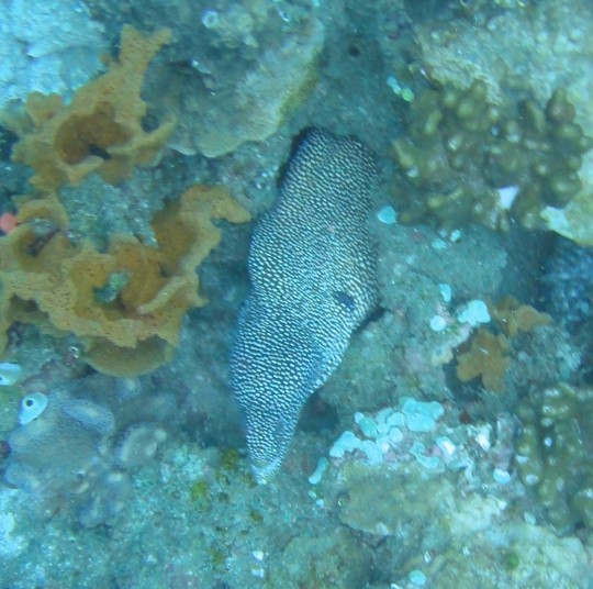 Guinea fowl moray eel on Caves & Overhangs