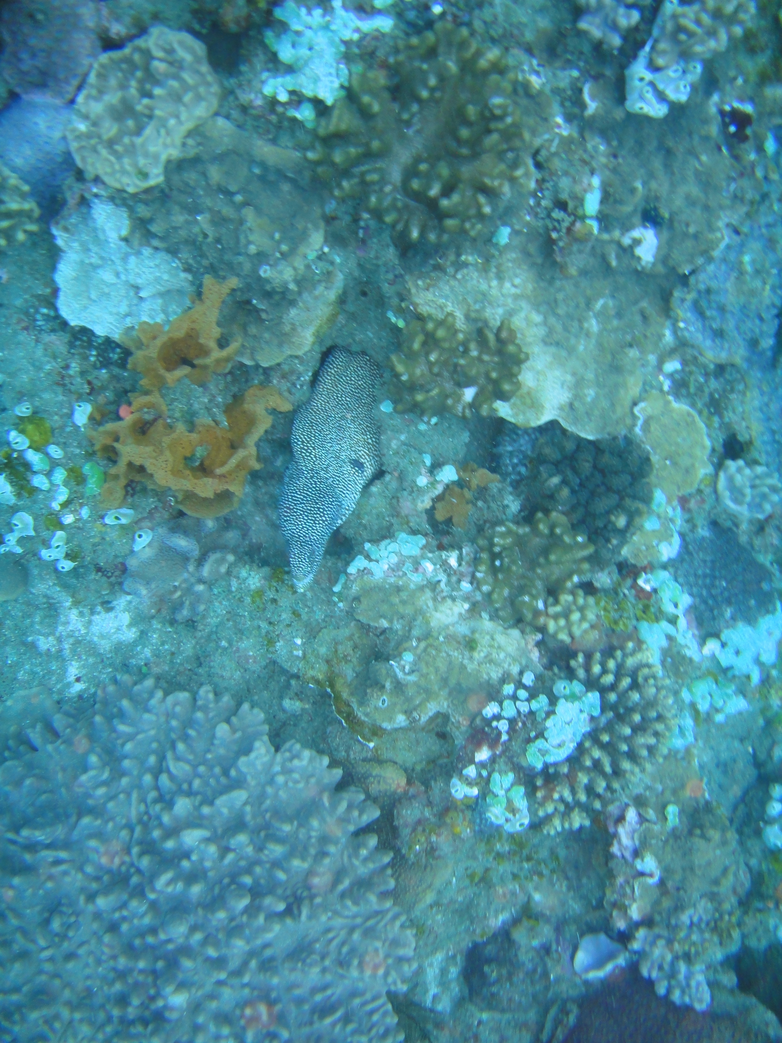 Guinea fowl moray eel on Caves & Overhangs