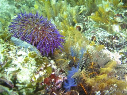 Sea urchin at Fisherman's Beach