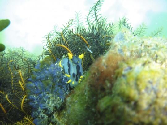 Crowned nudibranch