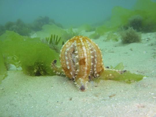 Munching star fish