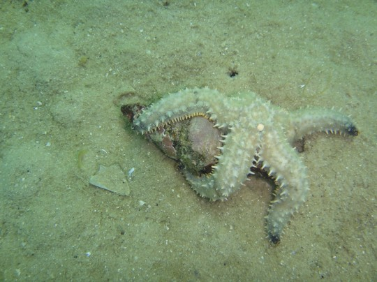 Starfish and whelk