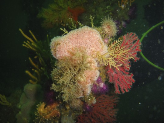 Soft corals on the SAS Good Hope