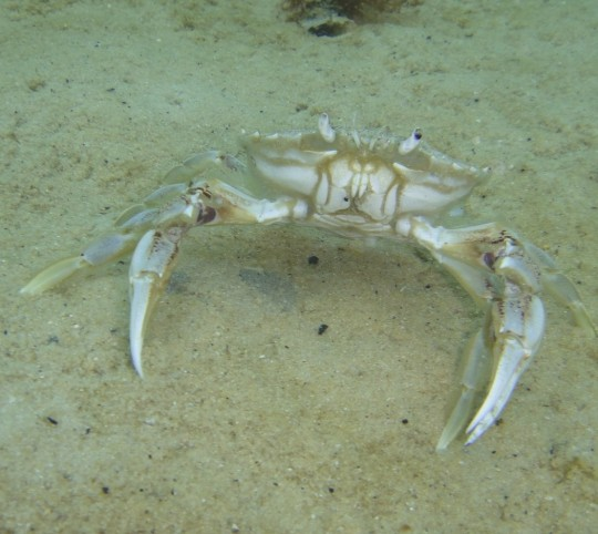 Three spot swimming crab