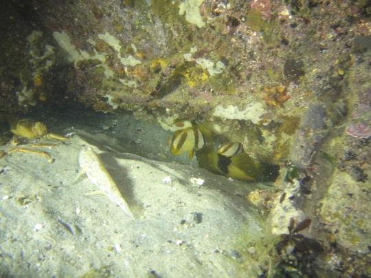 Two double sash butterfly fish under a wreck at Long Beach