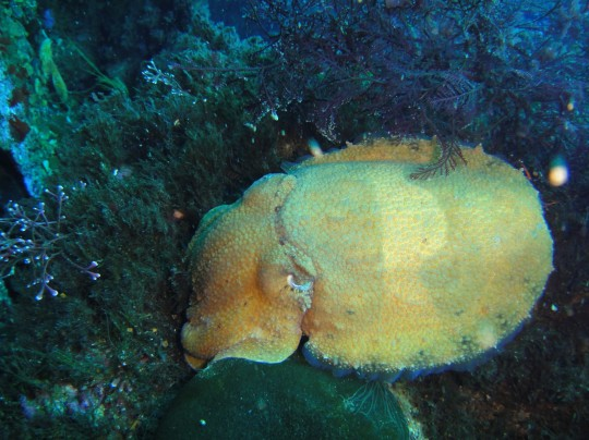 Sea life: Cuttlefish